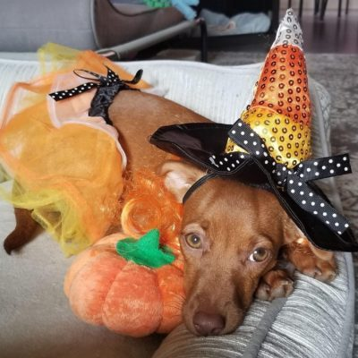 Candy Corn Witch Dog